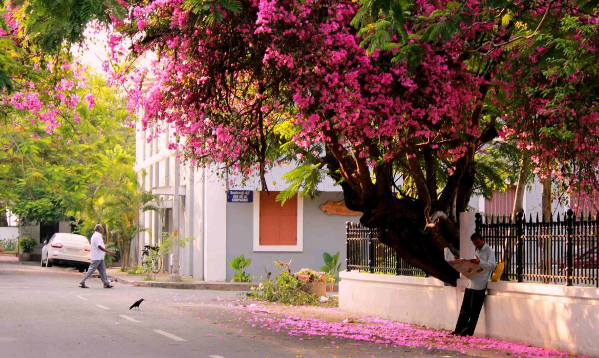 To those bougainvillea that bedeck Pondicherry's streets