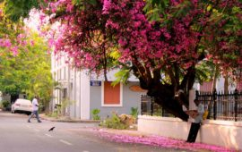 To the bougainvillea that beautify Pondicherry's streets