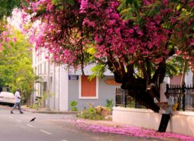 bougainvillea lining the streets of Pondicherry French quarter