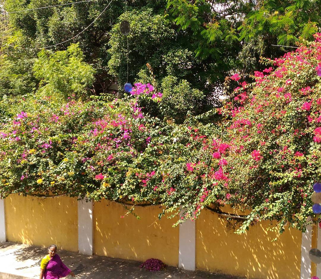 bougainvillea plants flanking streets in pondiicherry