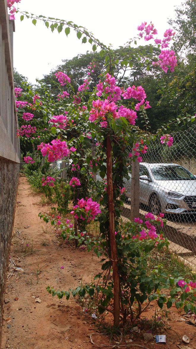 Bougainvillea in Pondicherry