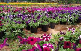 Annual Pondicherry Flower Show