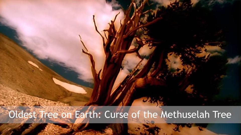 Sadhana Forest – Friday Eco Film Club: Oldest Tree on Earth