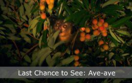 Sadhana Forest – Eco Film Club: Last Chance to See – Aye-aye